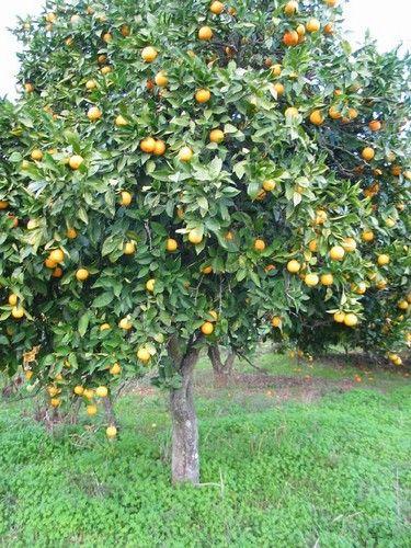 What does bergamot smell like - bergamot tree